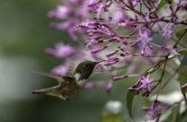 Vulkaankolibri / Volcano Hummingbird (Selasphorus Flammula)