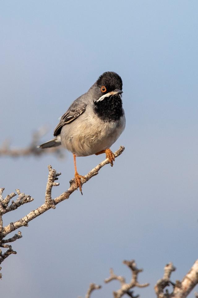 Rüppels grasmus / Rüppell's warbler (Sylvia rueppelli)