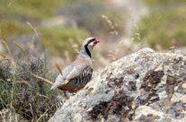 Aziatische Steenpatrijs / Chukar partridge  (Alectoris chukar)