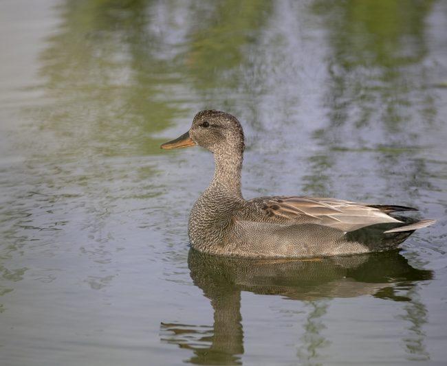 Krakeend (male) (Mareca strepera)