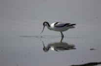 Kluut / Pied avocet (Recurvirostra avosetta)