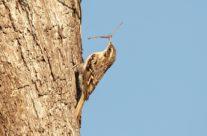 Boomkruiper / Tree creeper (Certhia brachydactyla Brehm)