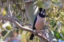 Rosse spreeuw / Red starling (Sturnus roseus)