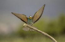 Bijeneter / Bea-eter (Merops apiaster)