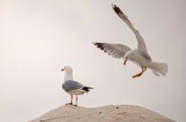 Zilvermeeuw / Common gull (Larus argentatus)