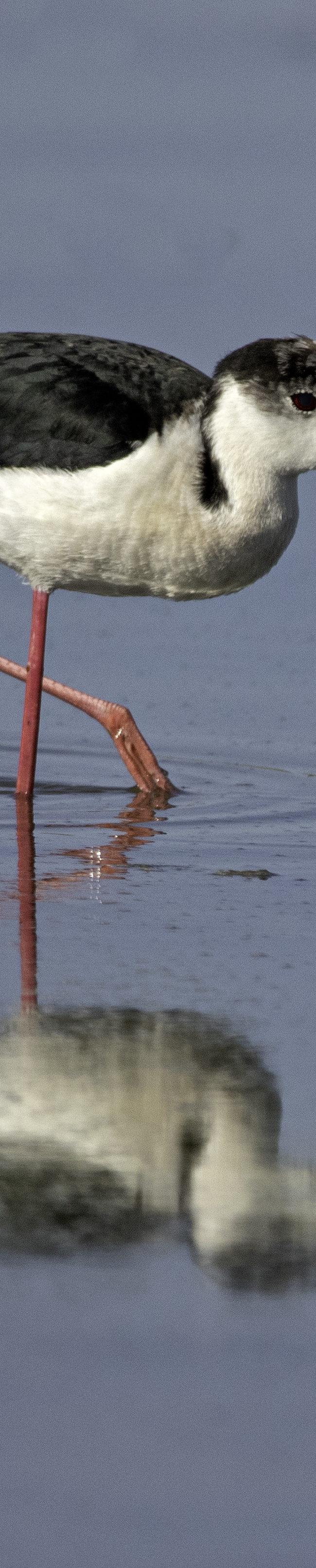 Steltkluut / Black-winged Stilt (Himantopus himantopus)