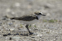 Strandplevier / Beach plover (Charadrius alexandrinus)