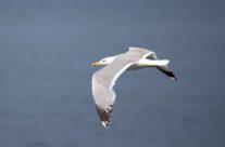 Geelpootmeeuw / yellow-legged gull (Larus cachinnans Pallas)
