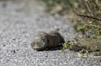 Westelijke Blindmuis / Lesser Mole-rat (Spalax leucodon)