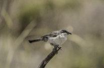 Orpheusgrasmus / Orpheus warbler (Sylvia hortensis)