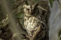 Dwergooruil / Eurasian scops owl (Otus scops)