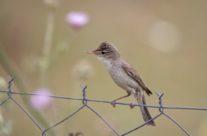 Orpheusspotvogel / Melodious Warbler (Hippolais polyglotta)