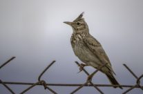 Kuifleeuwerik / Crested lark (Galerida cristata)
