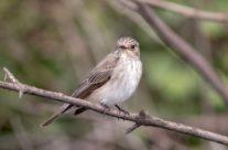 Grauwe vliegenvanger / Gray flycatcher (Muscicapa striata)