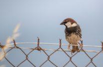 Spaanse mus / Spanish Sparrow (Passer hispaniolensis)