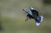 Scharrelaar / European Roller (Coracias garrulus)