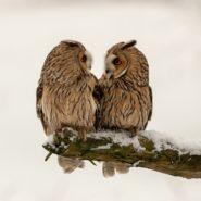 Ransuilen in de sneeuw