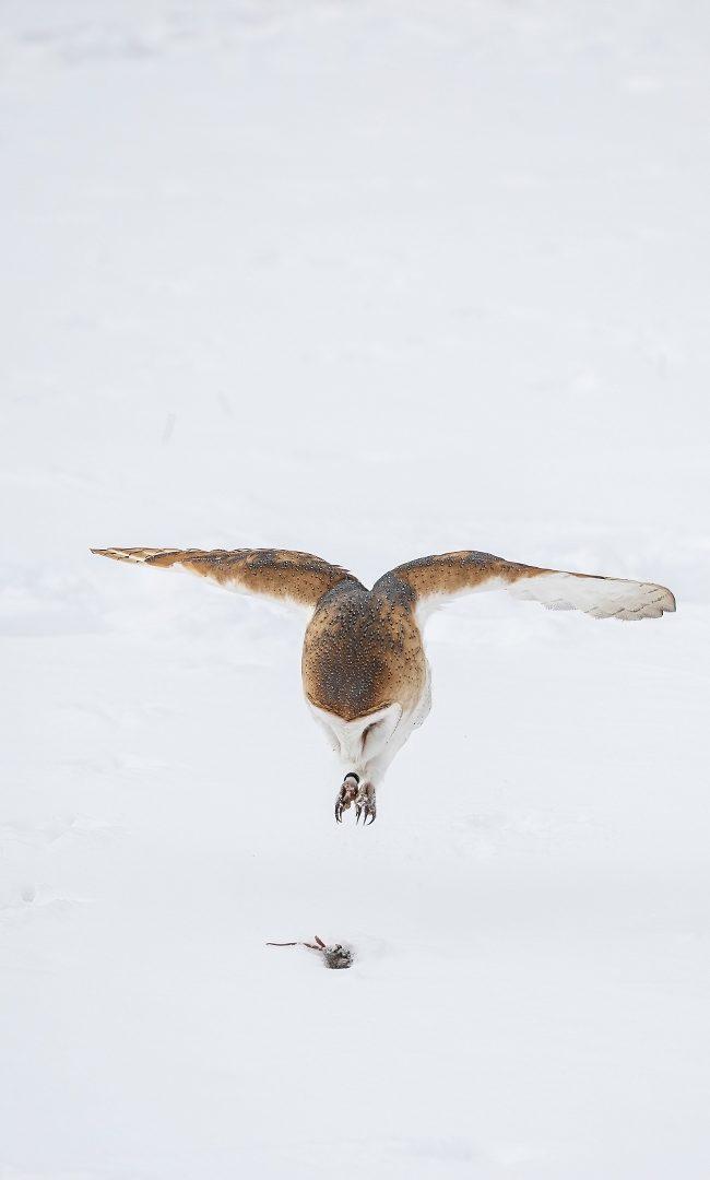 Kerkuil in de sneeuw