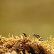 Muursalamander met mier
